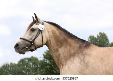 Portrait buckskin pony