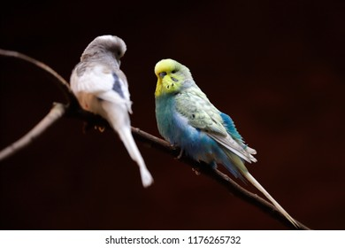 Portrait of  budgerigar (Melopsittacus undulatus) common parakeet or small seed-eating parrot. Photography of nature and wildlife.