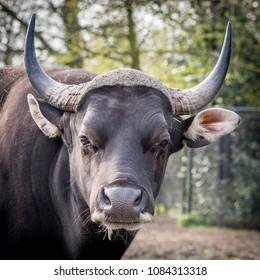 portrait of buffalo, blijdorp Netherlands