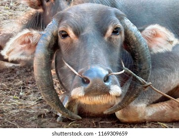 Portrait of Buffalo on a leash with curved down horns, Shan State, Myanmar (Burma), Southeast Asia