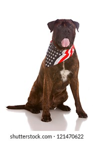 Portrait of a Bull Mastiff wearing an American Flag Bandana.  Isolated on white.