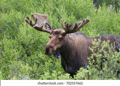 Portrait of bull Moose Alces alces in Nahanni, Northwest Territories, Canada
