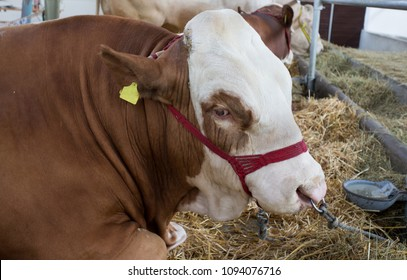 Portrait of bull (Simmental cattle) lying on straw in cow stable