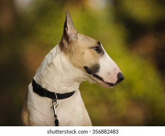 Portrait of Bull Terrier