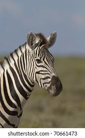 Portrait of Burchells zebra; Equus Burchelli