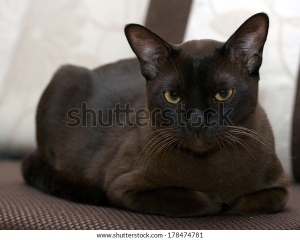 Portrait burmese cat lying and posing looking into the lens