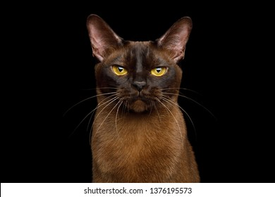 Portrait of Burmese Cat with Sable fur angry Gazing on isolated black background