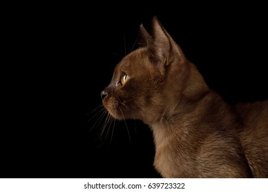 Portrait of Burmese Kitten with yellow eyes sable fur on Isolated Black Background, profile view