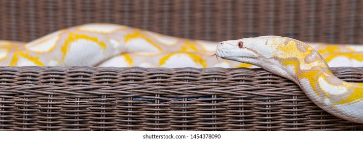 Portrait of Burmese python laying on bench outdoor. Side shot banner frame.