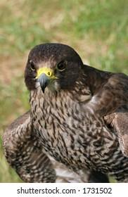 Portrait of a buzzard bird of prey.