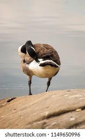 Portrait of Cackling goose