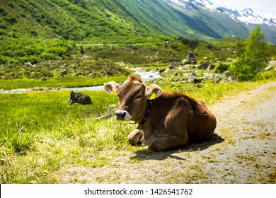 Portrait of a calf cow in the austrian alps during summer