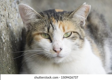 portrait of calico cat with cut ear