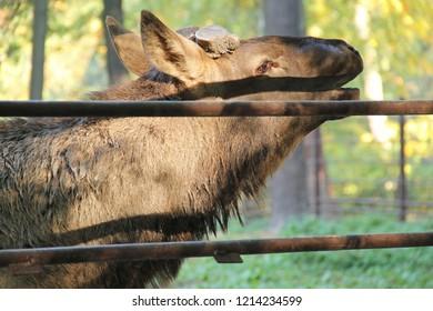 portrait of calling male wapiti deer (Cervus canadensis) living in captivity