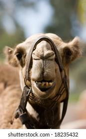 A portrait of a camel