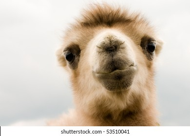 Portrait of camel baby