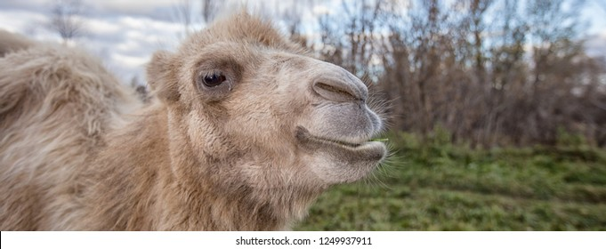 Portrait of a camel in nature in spring