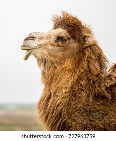 portrait of a camel spring