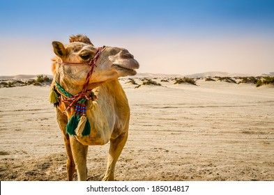 Portrait of camel standing in the desert looking away