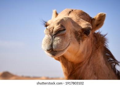 A portrait of a camel in the UAE desert farm near Abu Dhabi