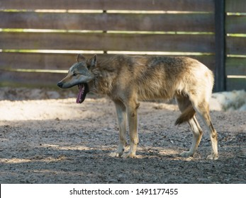 Portrait of a Canadian standing snarling yawning  nervous wolf. The strength and power of wildlife in the eyes of a wild beast. Concepts of courage, confidence, independence, freedom. Natural light