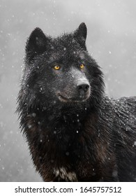 Portrait of a canadian wolf in snowy weather.