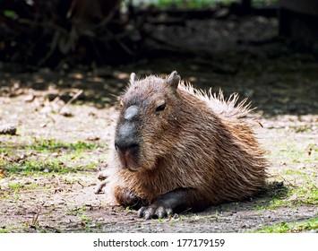 Portrait Capybara (Hydrochoerus hydrochaeris) on a green lawn