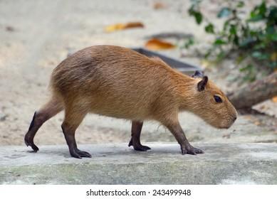 Portrait of capybaras walking, side view.
