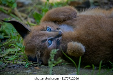 Portrait of Caracal baby.