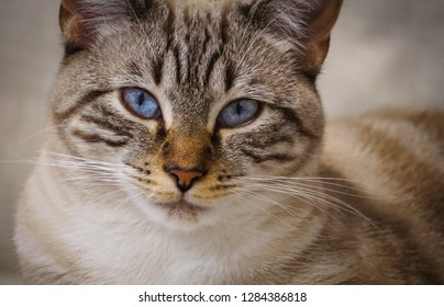 portrait of cat with blue eyes