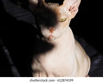 The portrait of a cat. The cat of the breed is the Canadian Sphinx.