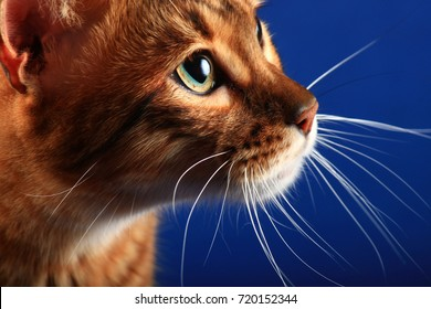 Portrait of a cat breed Toyger on a blue background