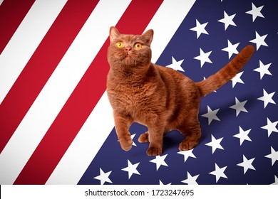Portrait of a cat, bright yellow eyes, a playful look, British cat, cinnamon-colored, brown milk chocolate against the background of the usa flga. Concept, animals on the day of independence.