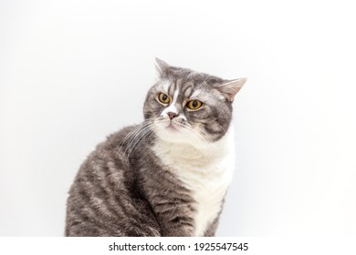 Portrait of a cat of the British breed on a white background. Pets concept.