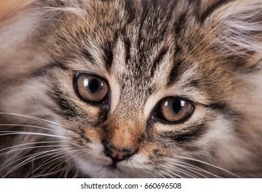 Portrait cat close up on wood background. Pets.