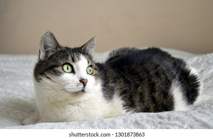 portrait of cat lying and looking forward