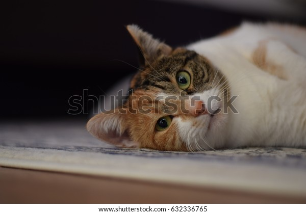 Portrait of a cat lying on the ground