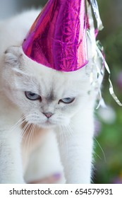 Portrait of a cat with party hat on a green  background. Happy cat after birthday. Fanny white cat. Scottish fold kitten