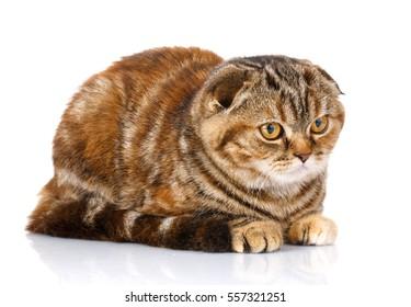 Portrait cat, scottish fold siting on white background