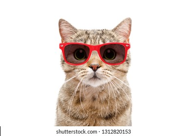 Portrait of a cat Scottish Straight in red sunglasses isolated on white background