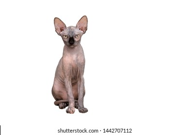 Hairless Cat Images, Stock Photos \u0026 Vectors