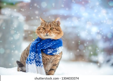 Portrait of a cat, wearing scarf, outdoor in snowy winter near fir tree