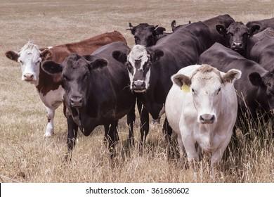 Porträt von Rindern auf Weiden, nordöstlich von Tasmania, Australien. Foto wurde einer Vintage-Behandlung unterzogen