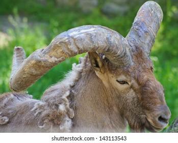 Portrait of Caucasian goat in the zoo