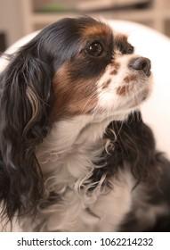 Portrait of Cavalier King