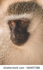 Portrait of a cercopiteco monkey