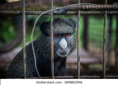 Portrait of a Cercopithecus kandti, a type of monkey, locked up in a cage.  Animal rights concept