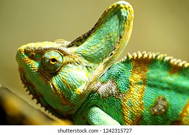 portrait of a chameleon