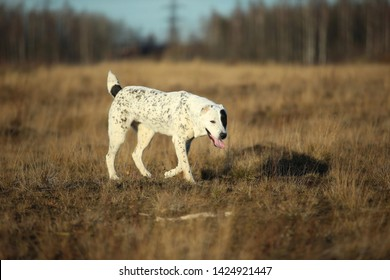 Portrait of charismatic spotted Central Asian Shepherd Dog. Alabai walking on a autumn field.