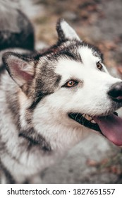 Portrait of a charming fluffy gray-white Alaskan Malamute close-up. Beautiful huge friendly sled dog breed. A female Malamute with beautiful intelligent brown eyes.